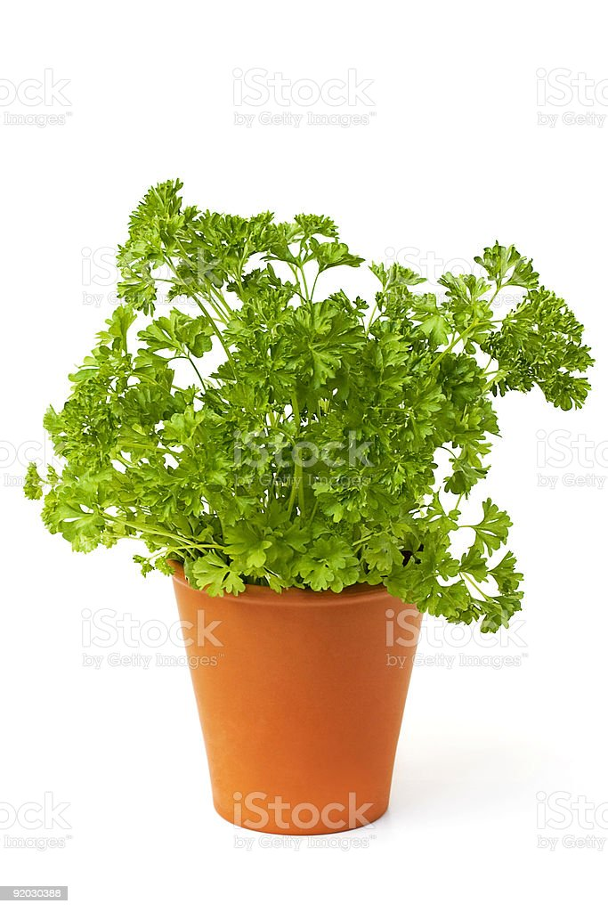 Terra cotta pot of bright green parsley on white background royalty-free stock photo