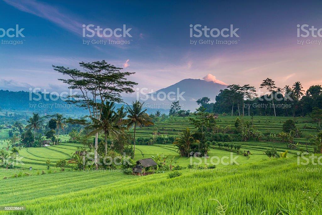 Terrace rice field in Bali in Indonesia stock photo