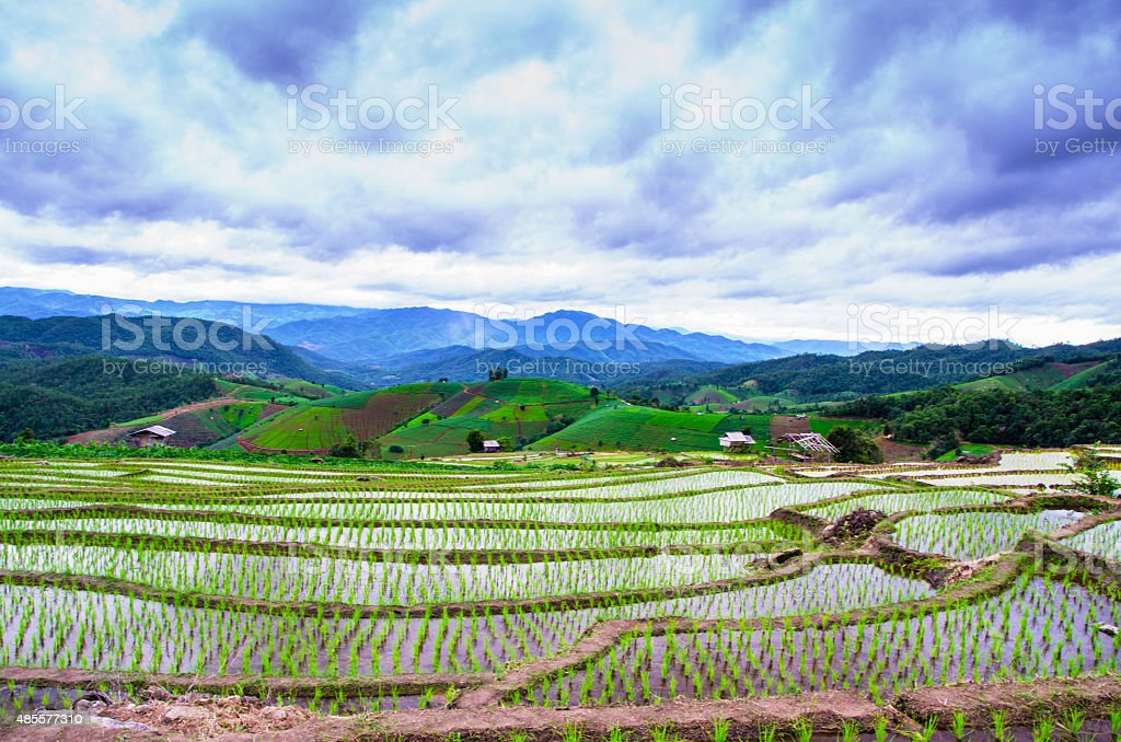 terrace rice field stock photo