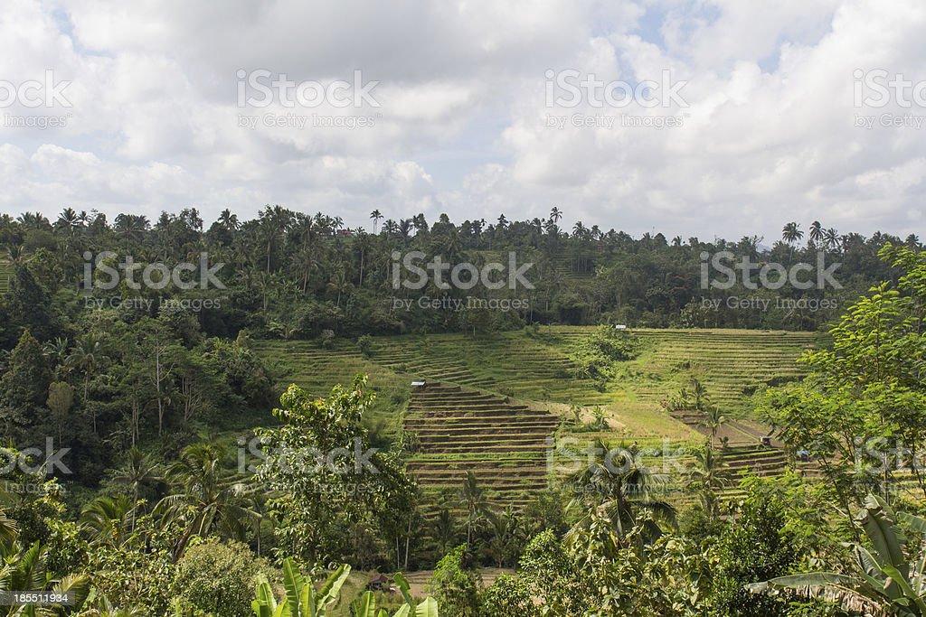 Terrace rice fields on Bali royalty-free stock photo