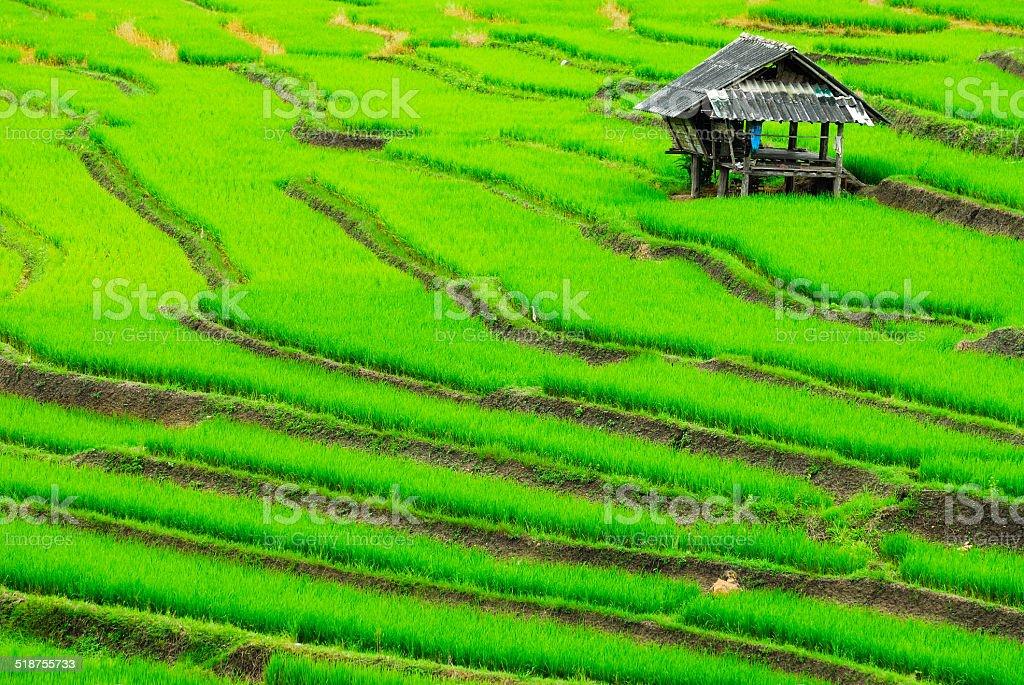 Taras pól ryżowych zbiór zdjęć royalty-free