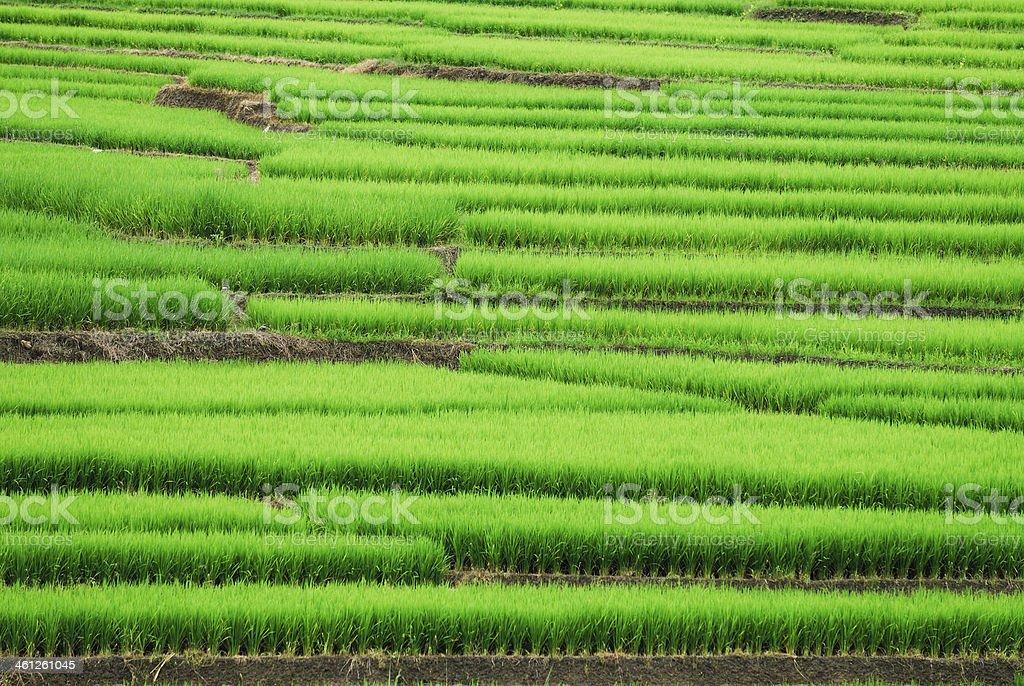 Taras ryżu zbiór zdjęć royalty-free