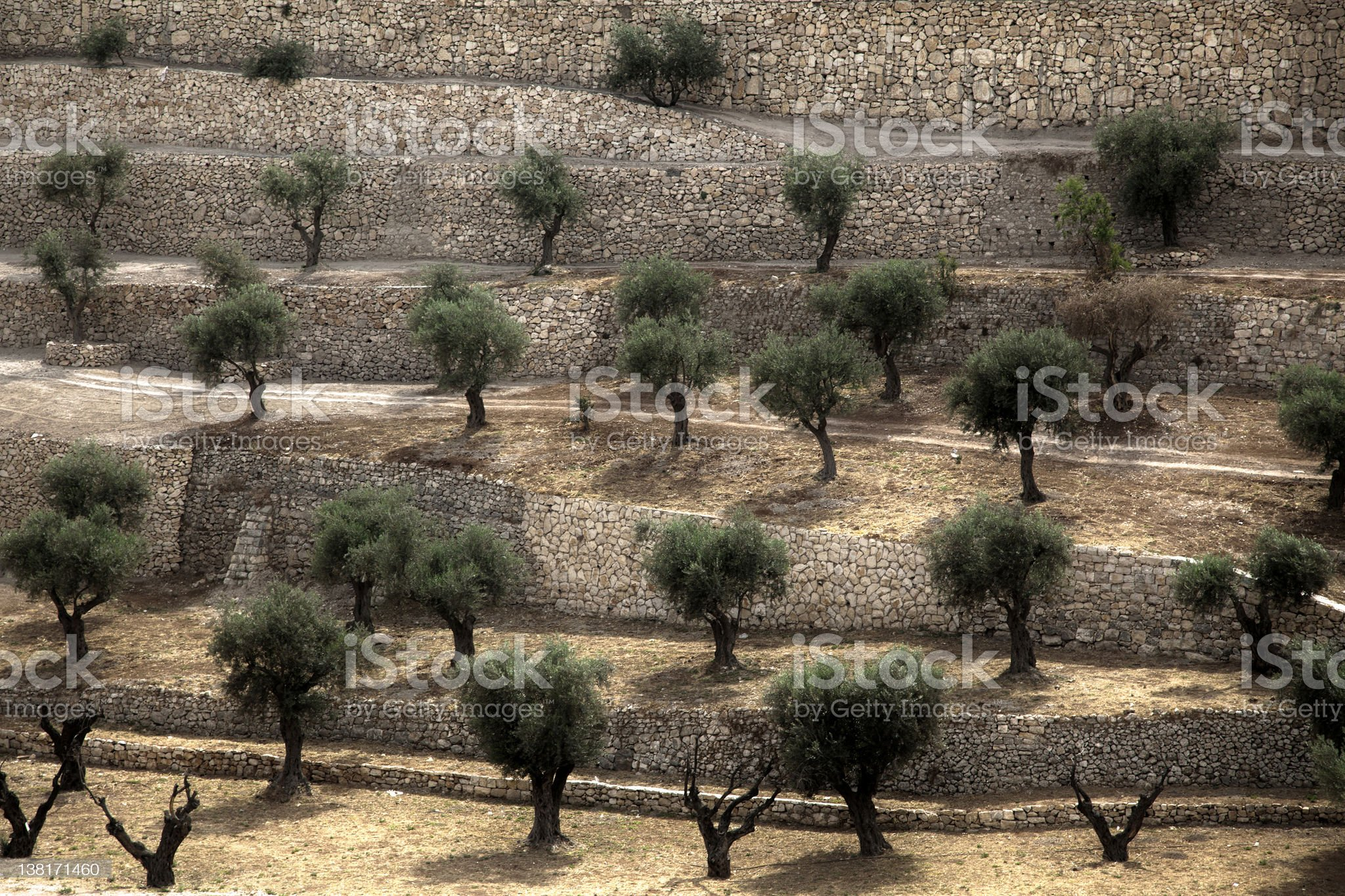 Terraced Olive Grove royalty-free stock photo