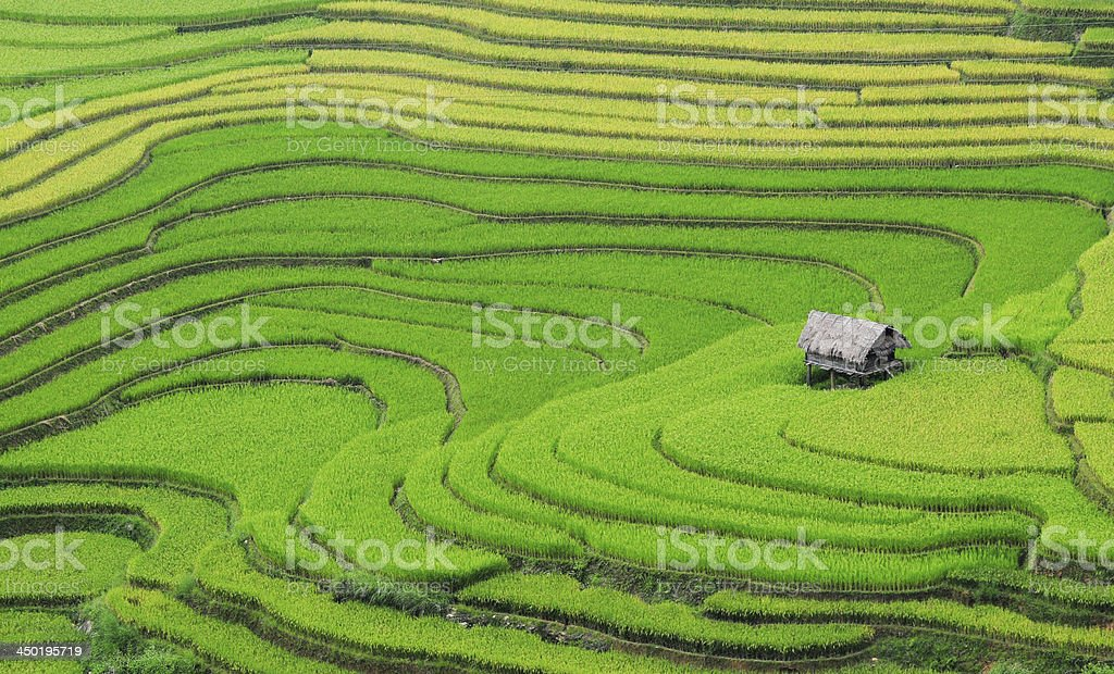 Terraced rice field with small house stock photo