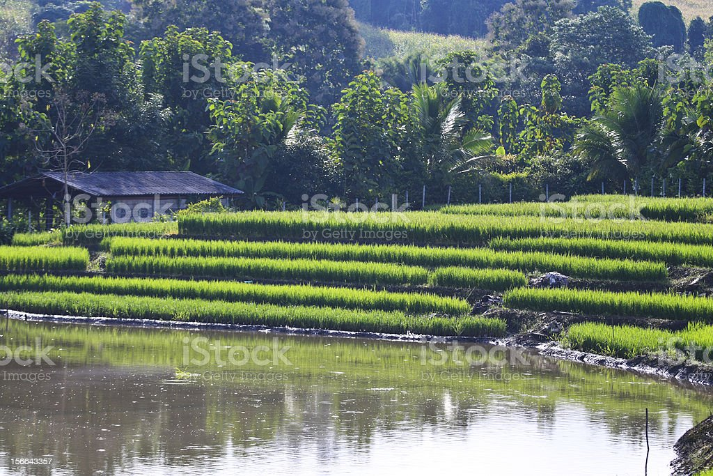 Terraced rice fields in northern Thailand royalty-free stock photo