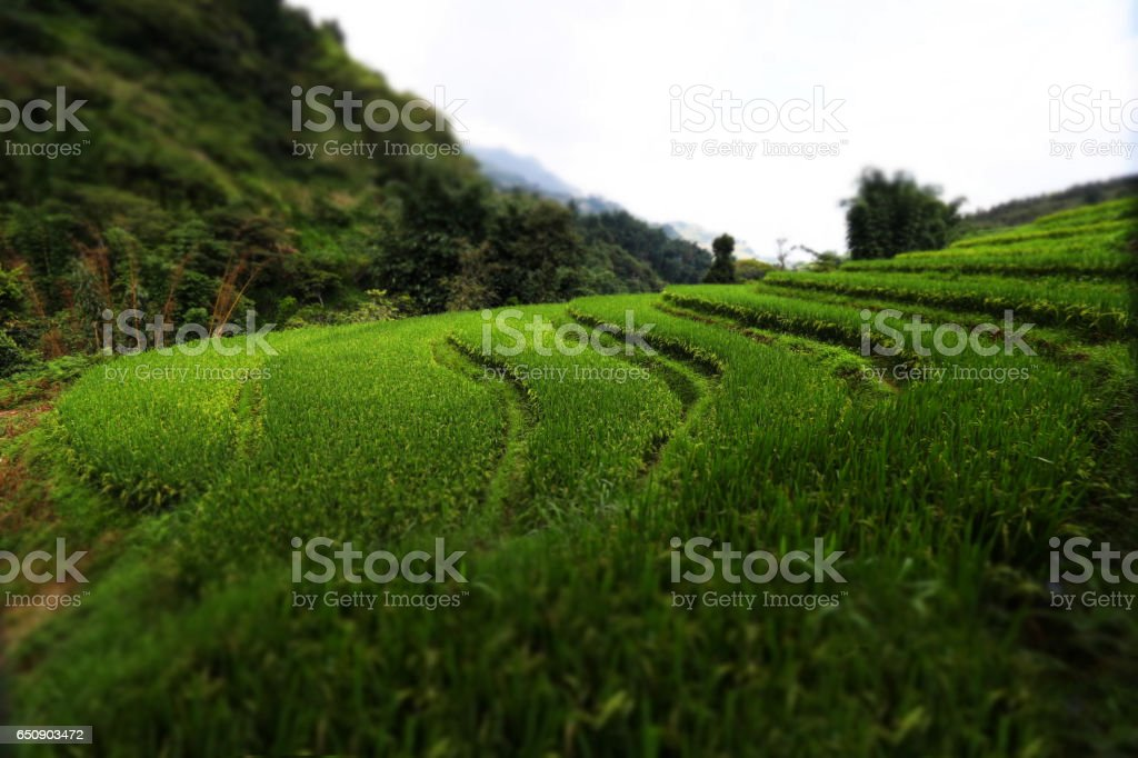 Terraced Rice Fields, Vietnam stock photo