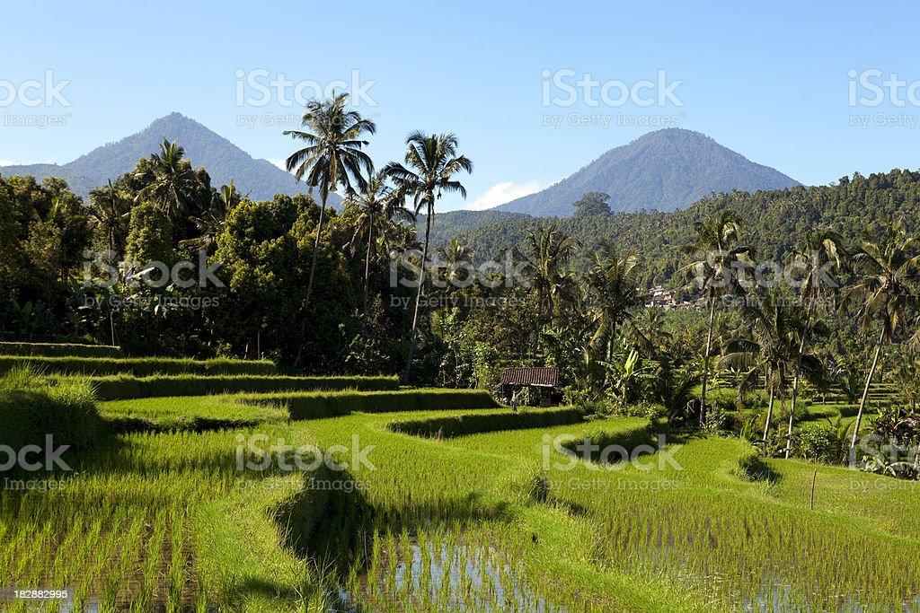 terraced rice paddy bali indonesia stock photo