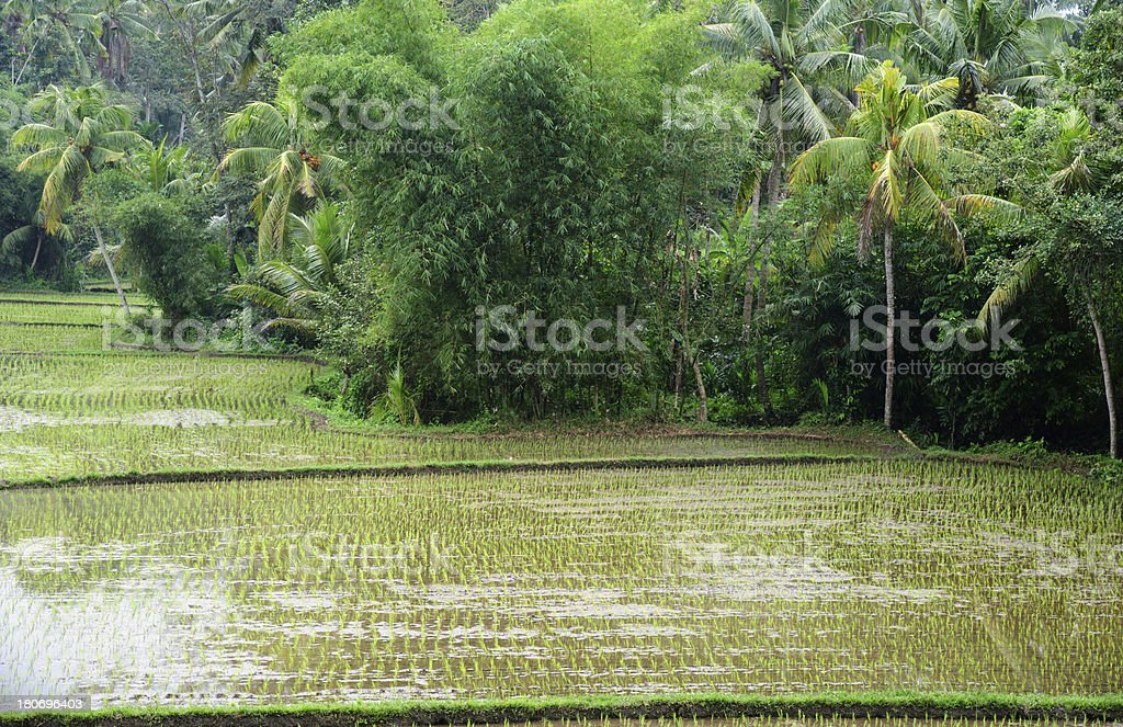 Terraced Ricefield royalty-free stock photo