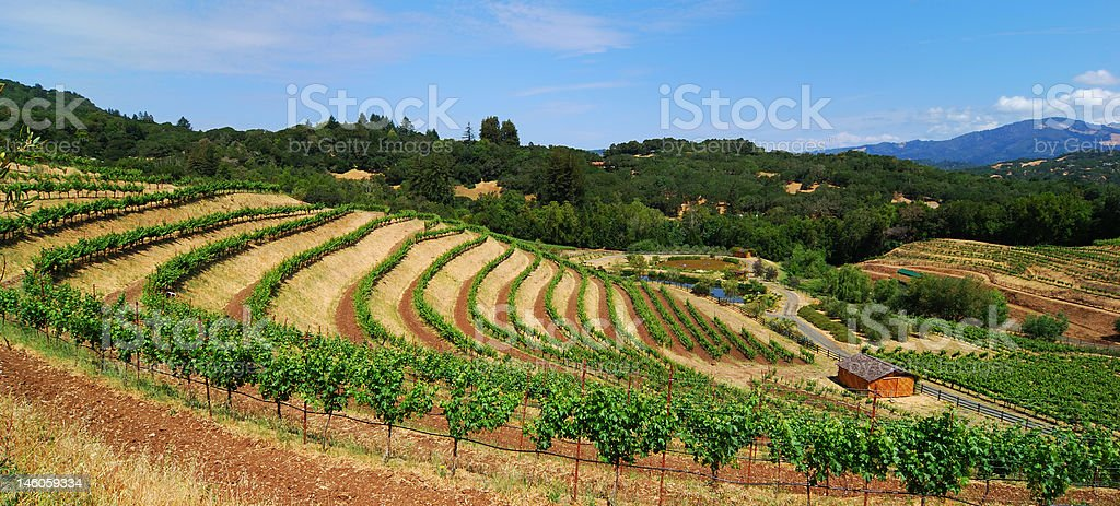 Terraced Sonoma Vineyards royalty-free stock photo