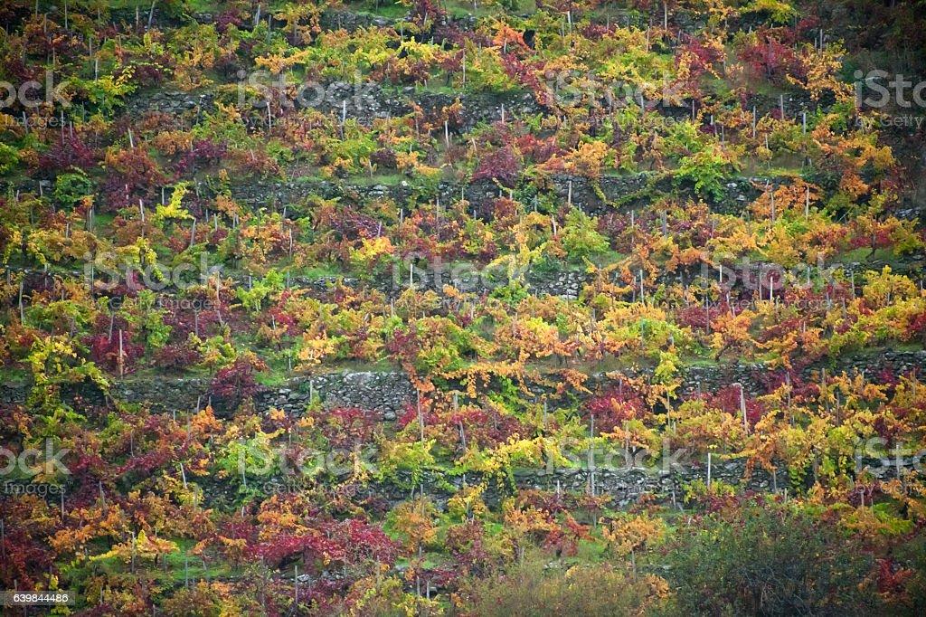 Terraced vineyard in Autumn, Ribeira Sacra, Galicia, Spain.. stock photo