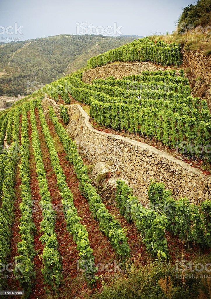 Terraced Vineyard stock photo
