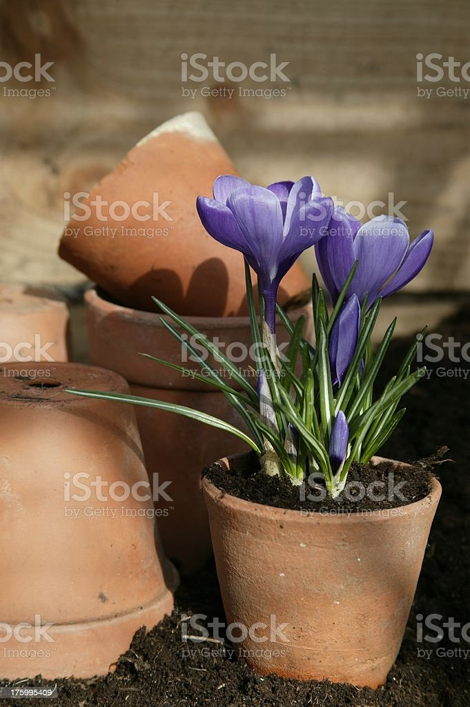 Terracotta crocus royalty-free stock photo