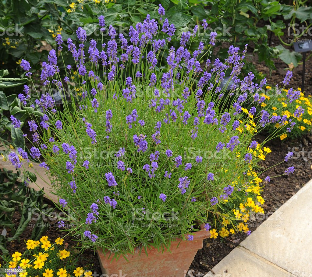 Terracotta Flowerpot of The Lavander Plant (Lavandula) stock photo