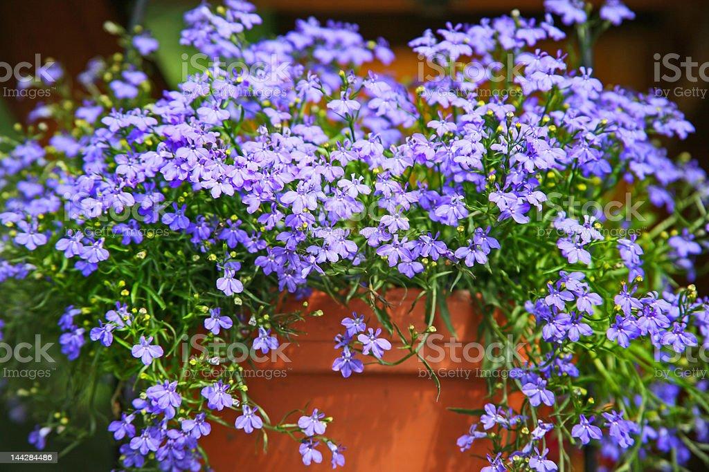 Terracotta pot with blue lobelia stock photo