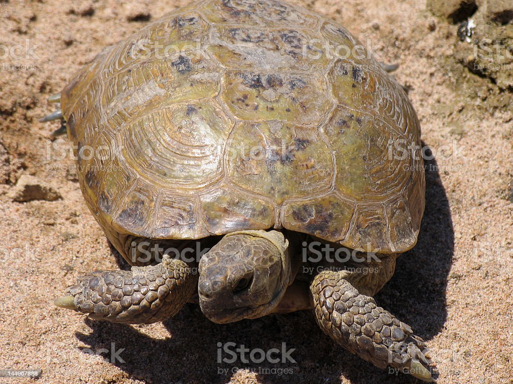 Terrapin in steppe ( turtle ) stock photo