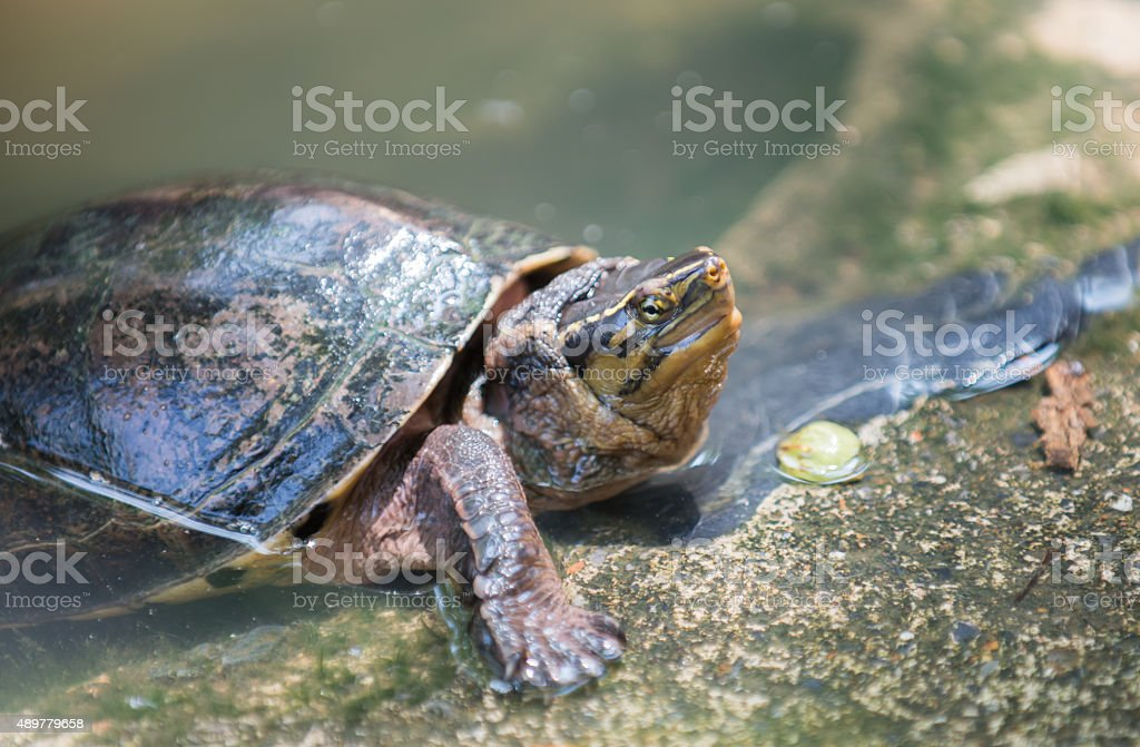 terrapin in Thailand stock photo