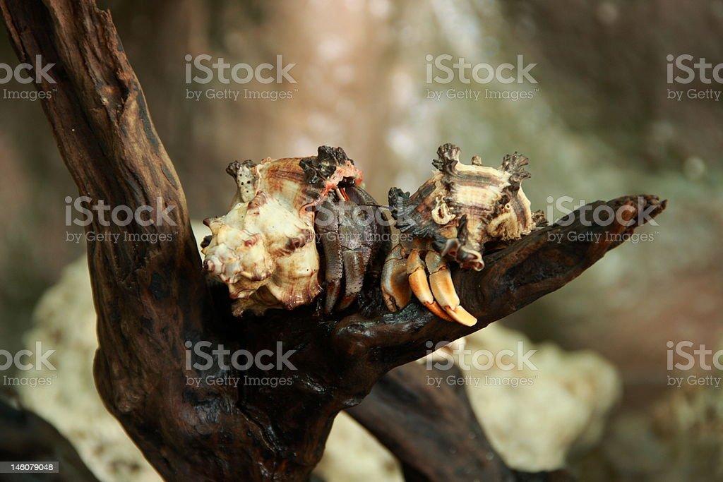 Terrestrial hermit crabs stock photo