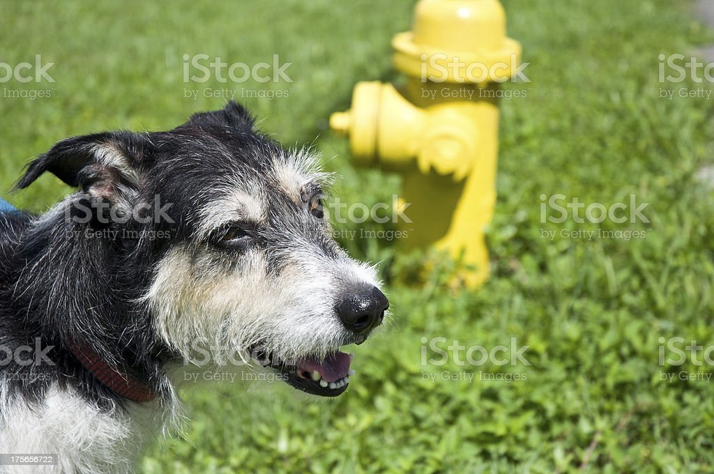 Terrier Border Collie Dog Outdoors With Yellow Fire Hydrant royalty-free stock photo