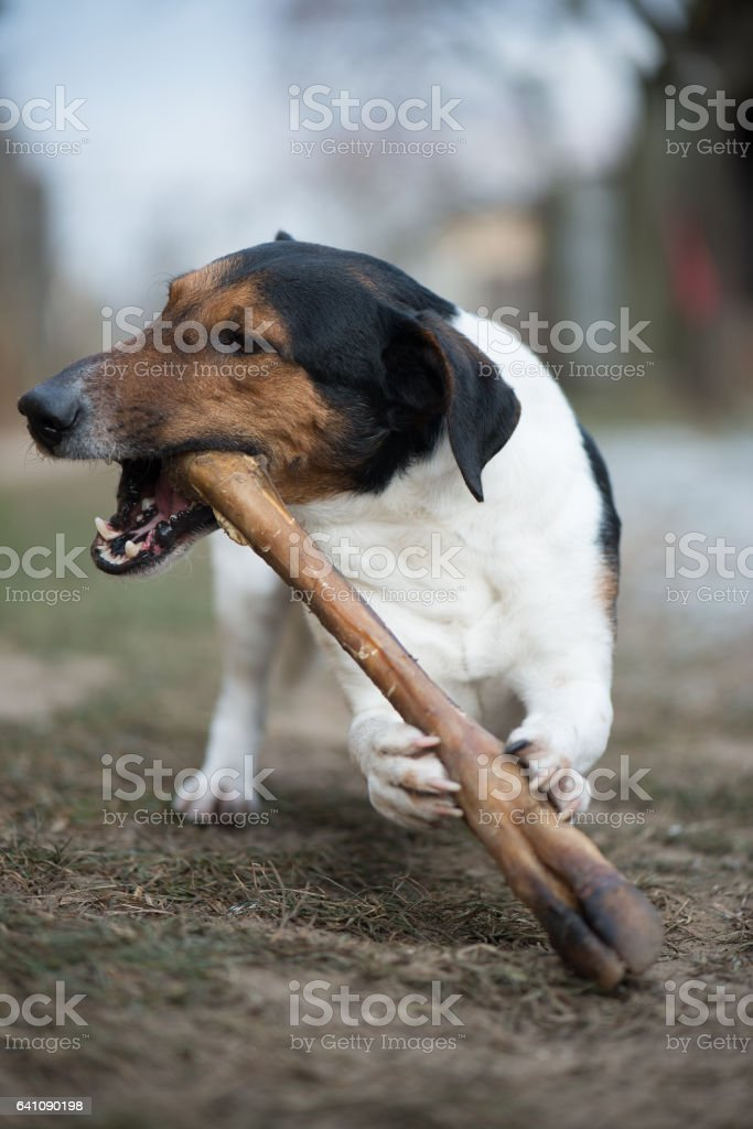 Terrier Dog chewing bone stock photo