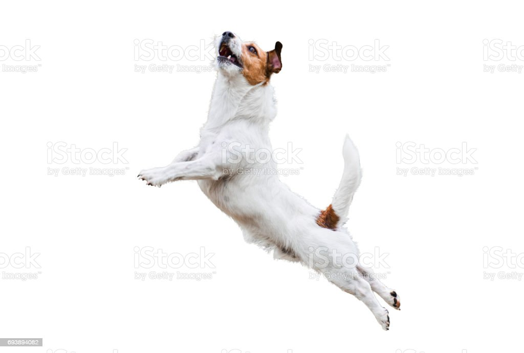 Terrier dog isolated on white jumping and flying high stock photo