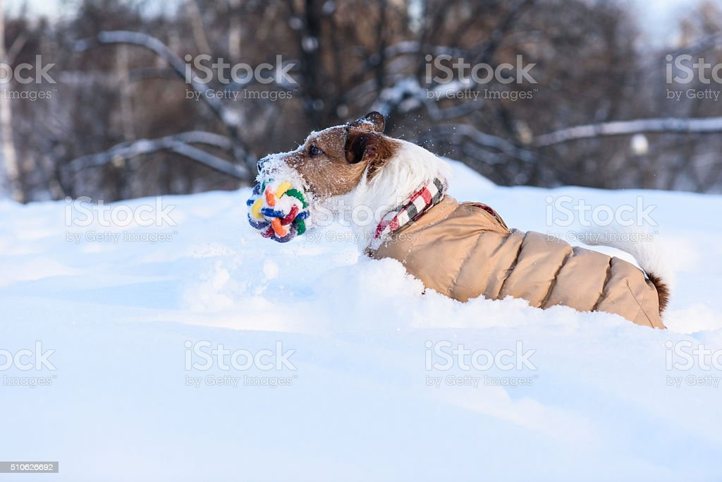 Terrier dog running at deep snow with a toy stock photo