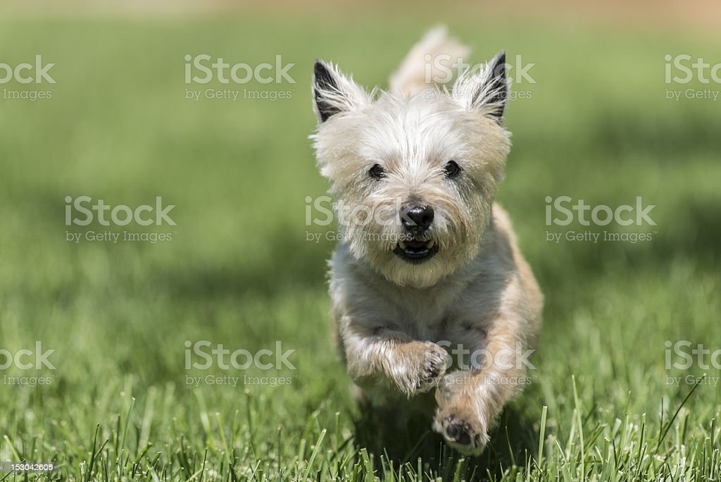 Terrier dog running in green grass royalty-free stock photo