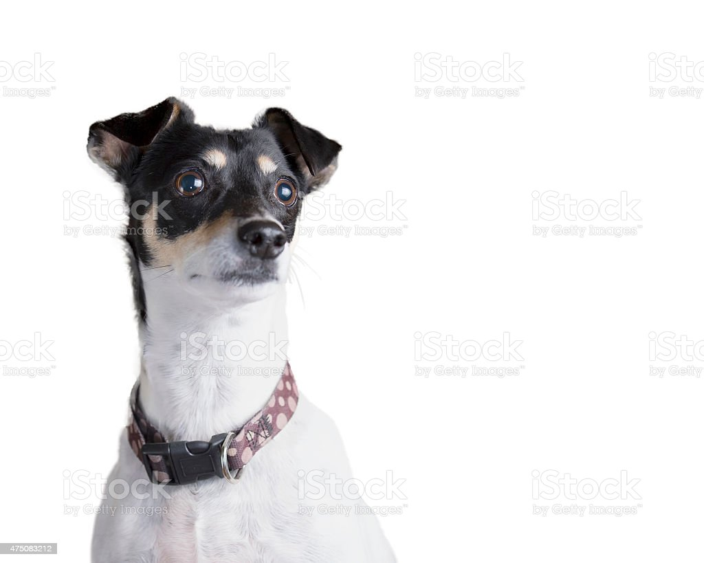 Terrier dog with a focused expression stock photo