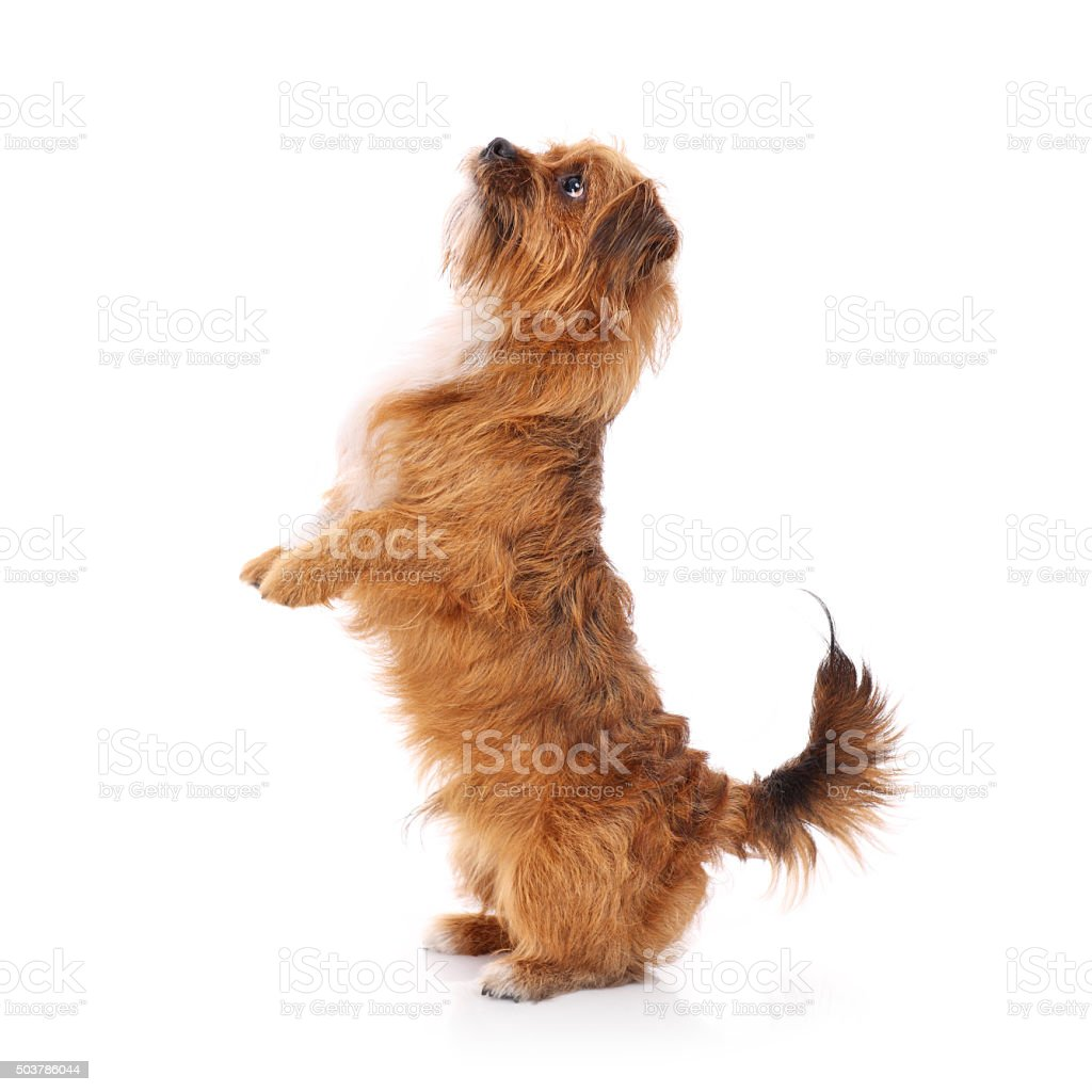 Terrier doing tricks stock photo