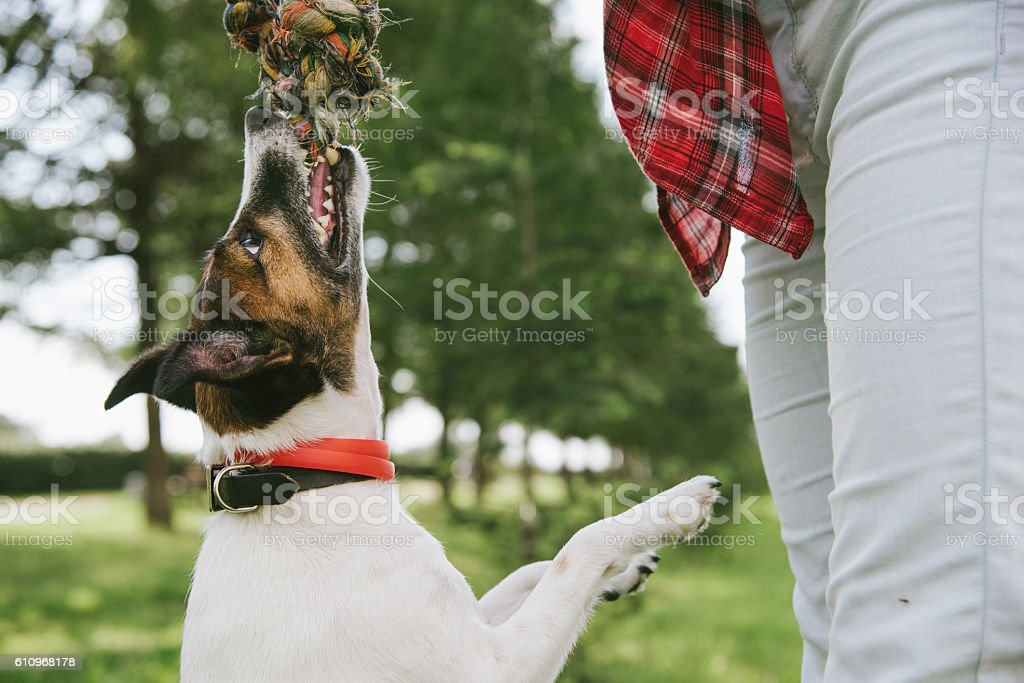 terrier grabbed the rope and hang. Close up. stock photo