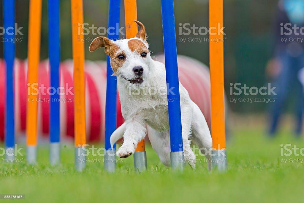 Terrier in weaves stock photo