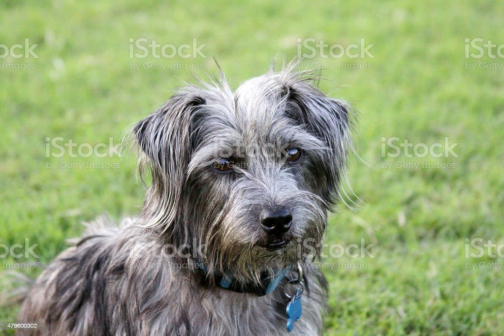 Terrier Mix Dog with Collar and Tags stock photo