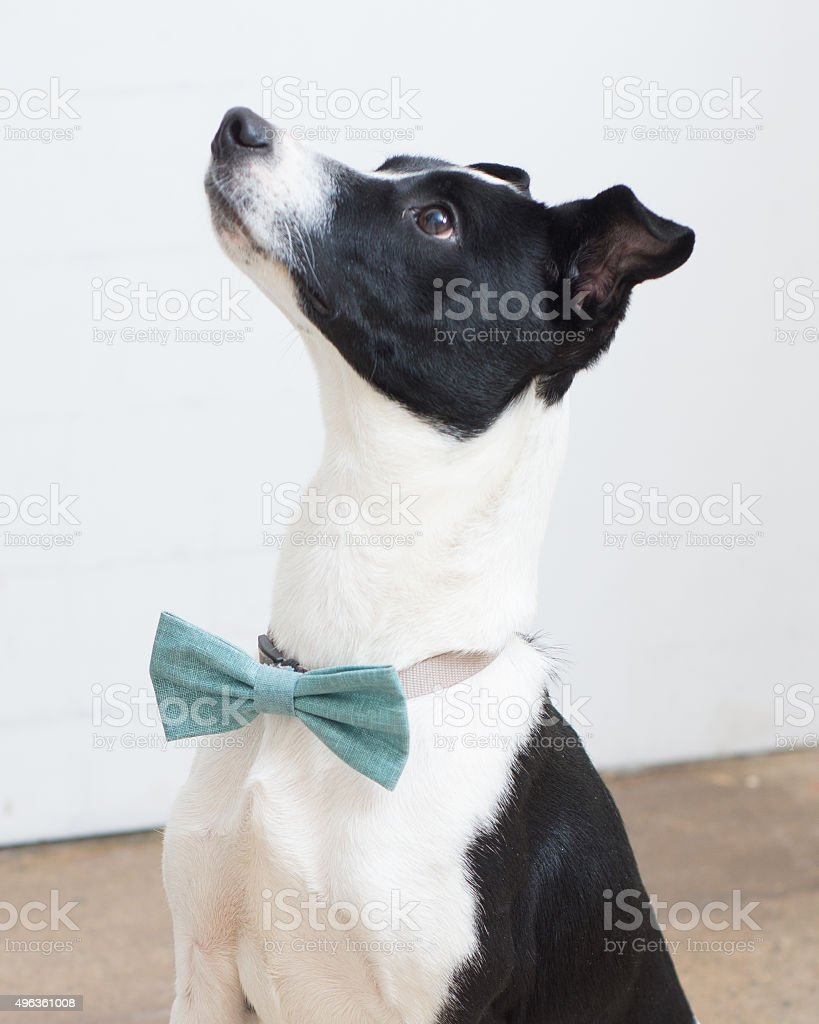 Terrier mix with blue bow tie looking up stock photo