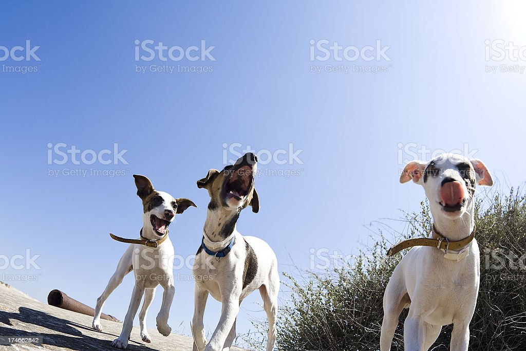 Terrier Puppies stock photo