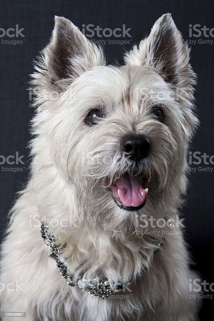 Terrier with a Bling stock photo