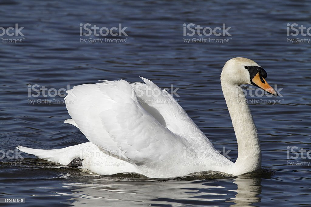 Mute swan male cob in aggressive pose royalty-free stock photo