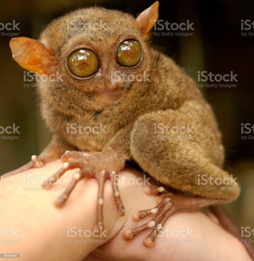 Tersier Rare Animal Philippines royalty-free stock photo