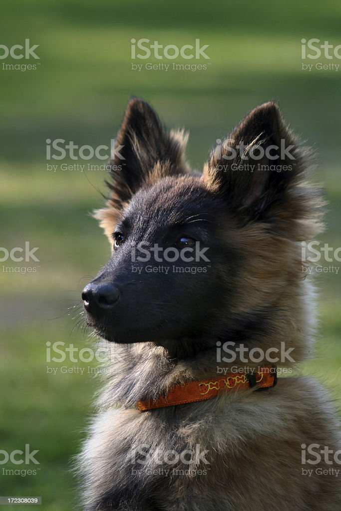 Tervueren puppy royalty-free stock photo