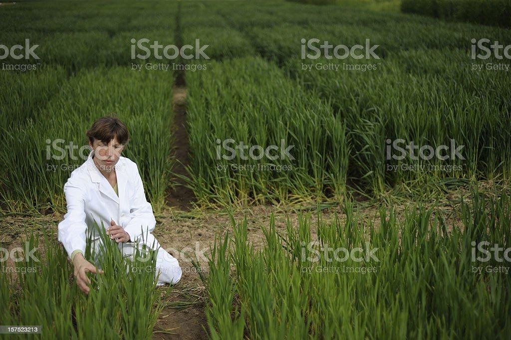 Test field area of plant breeding royalty-free stock photo