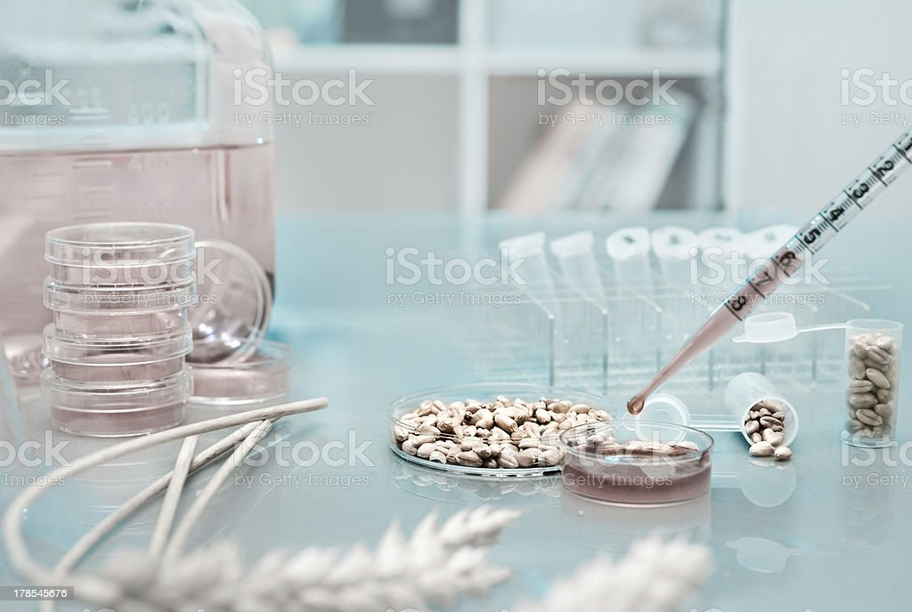 Testing genetically modified wheat royalty-free stock photo