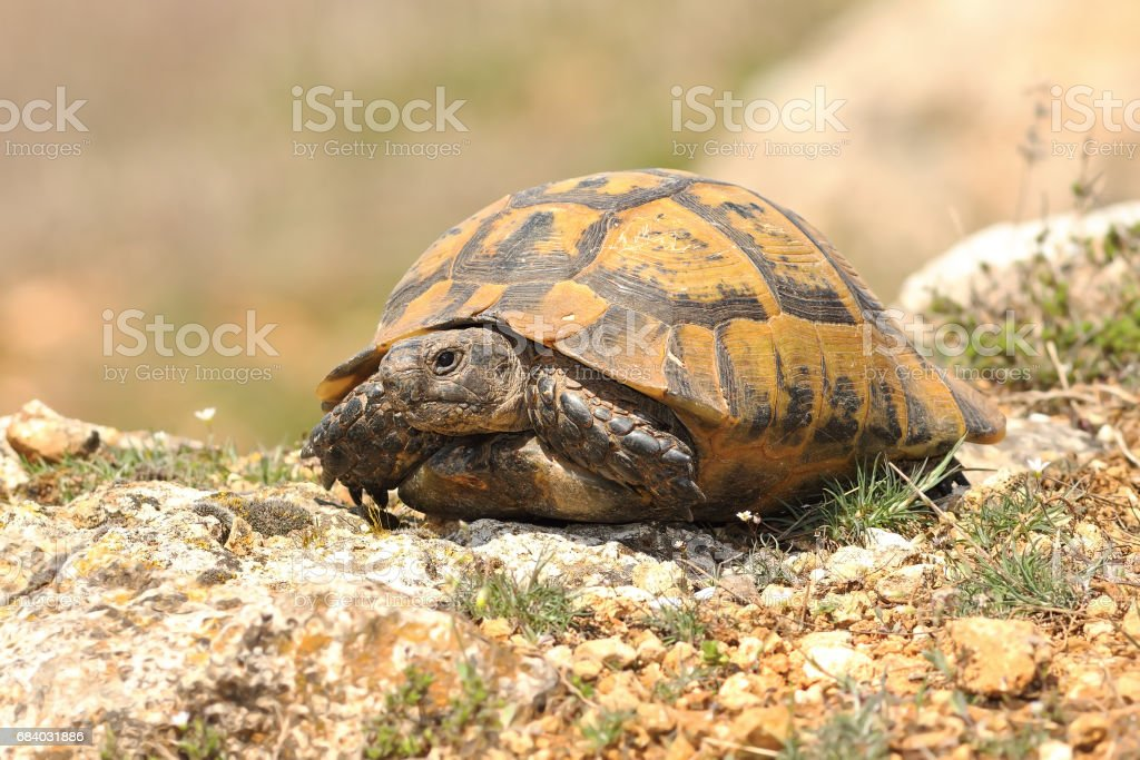 Testudo graeca basking on rocky ground at the end on march stock photo
