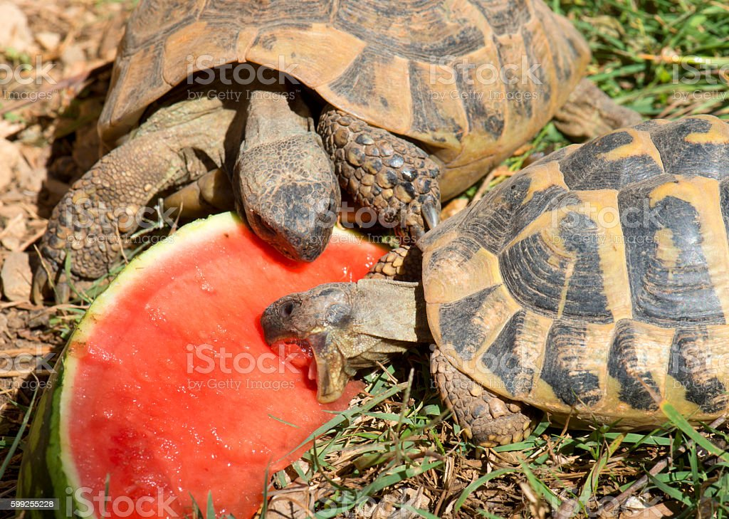 testudo hermanni tortoise eating stock photo