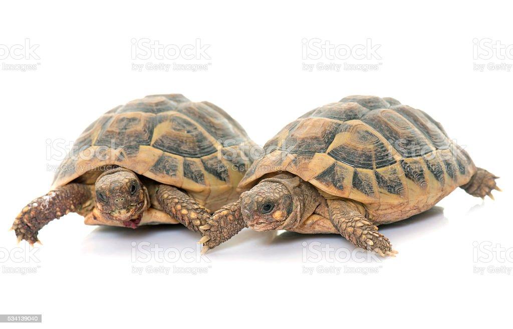 Testudo hermanni tortoise stock photo