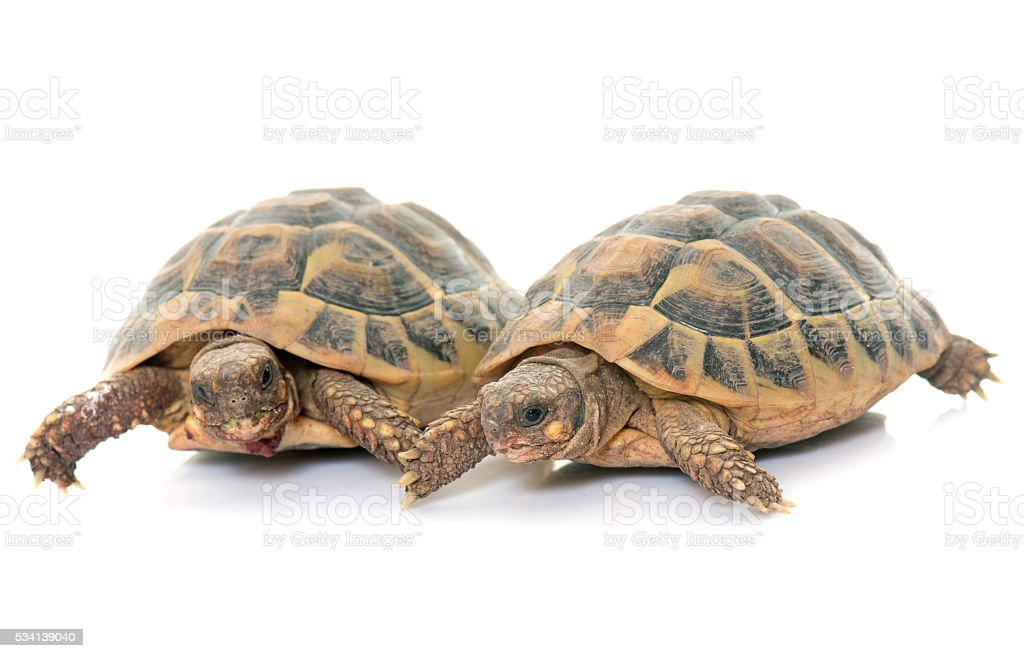 Testudo hermanni tortoise stock photo