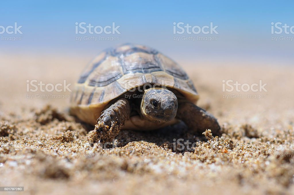 Testudo hermanni tortoiseon a white isolated background beach stock photo