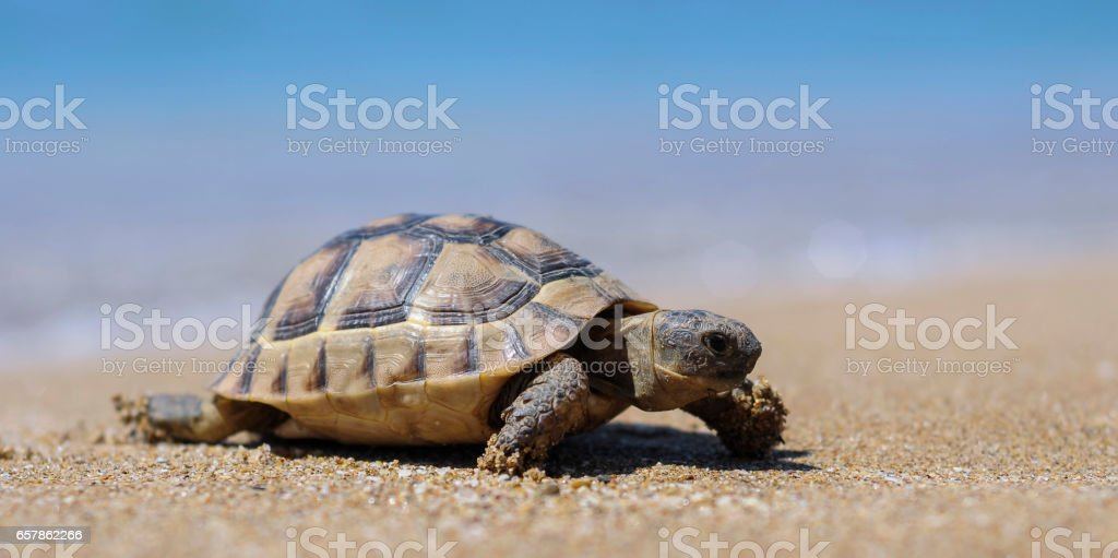 Testudo hermanni tortoiseon a white isolated background beach stock photo