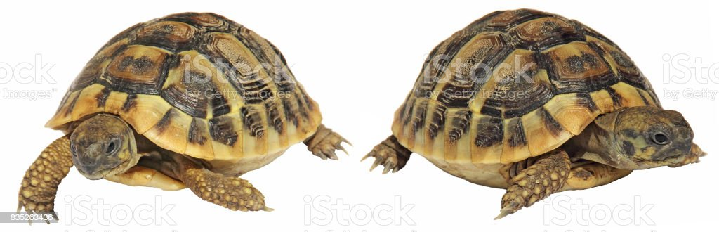 Testudo hermanni tortoiseon isolated on white background stock photo