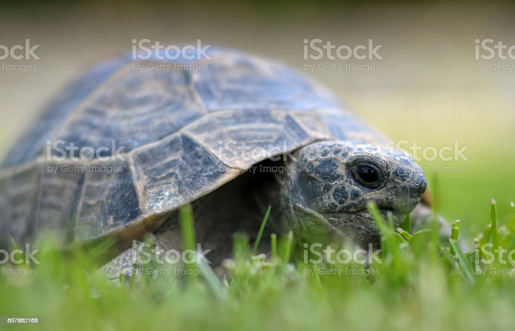 Testudo hermanni tortoiseon stock photo