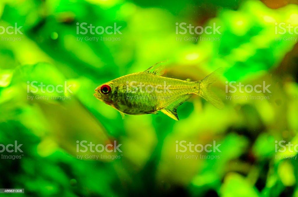 Tetra Fish stock photo