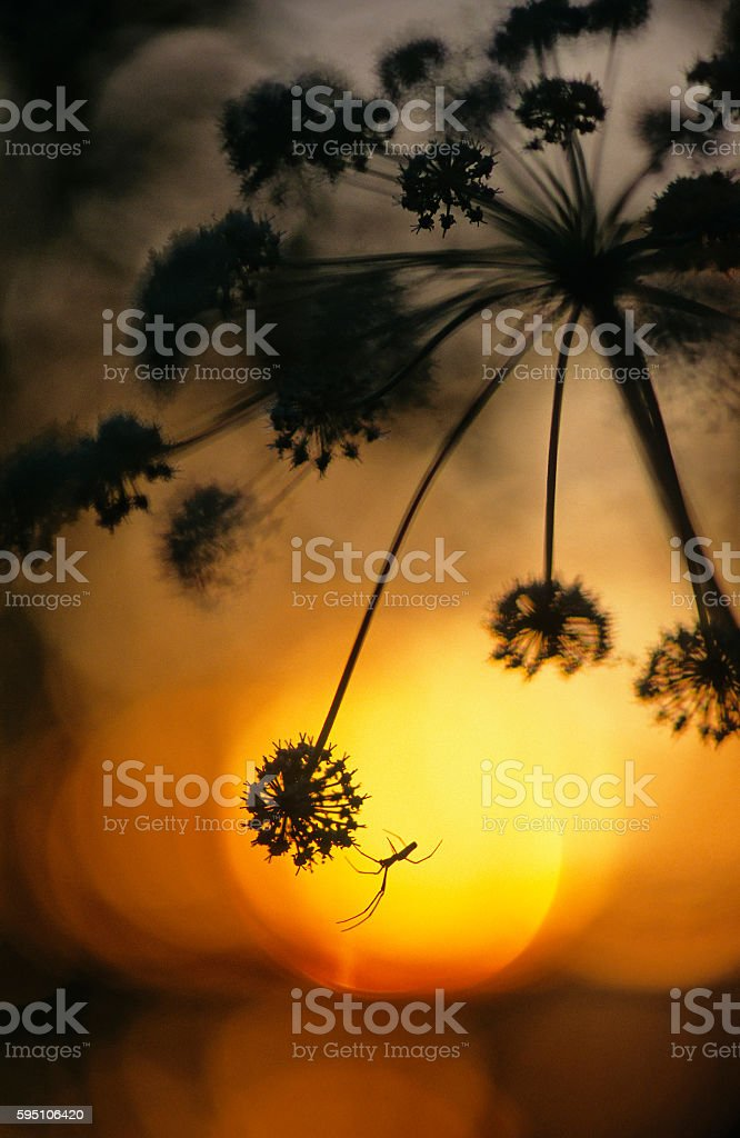 Tetragnatha spider on Angelica at sunset stock photo