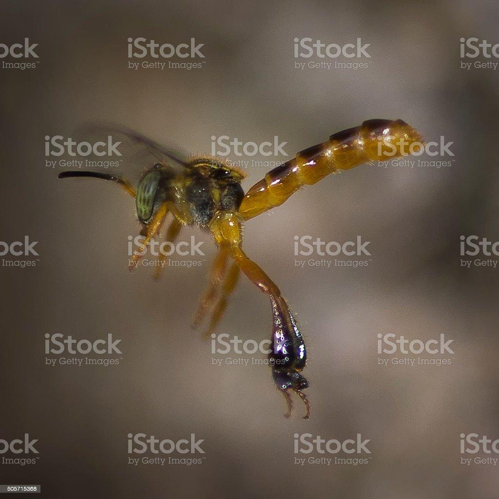 Tetragonisca angustula stingless bee stock photo